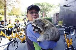 后豐鐵馬道動物明星 浣熊「饅頭」懶出名
