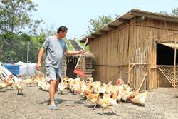 格外品雜糧、黑水虻養雞 農田與雞舍間形成生態循環