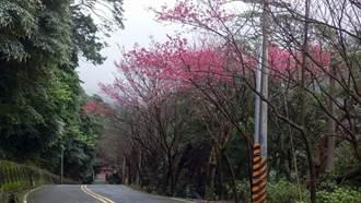 粉紅翩翩!今年三芝櫻花特別美 童趣彩繪添溫馨