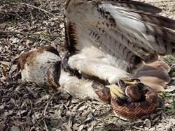 校外教學驚見鷹與蛇生猛激鬥!決戰結果神反轉