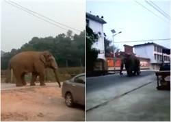 失恋了!野公象5天2次入村游街散心