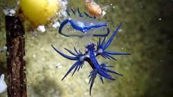 墾丁驚見「大西洋海神」海蛞蝓 潛水教練:夏天來了