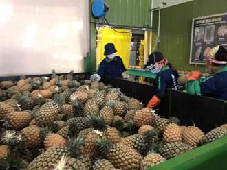鳳梨外銷13億 菜農7字酸嗆小英