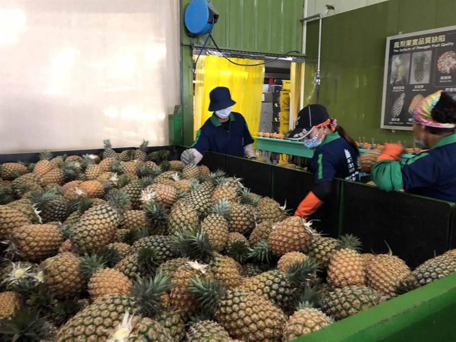 鳳梨因暖冬今年提早生產,包括屏東、高雄、台南、嘉義等地區已陸續進入鳳梨產季。(中央社)