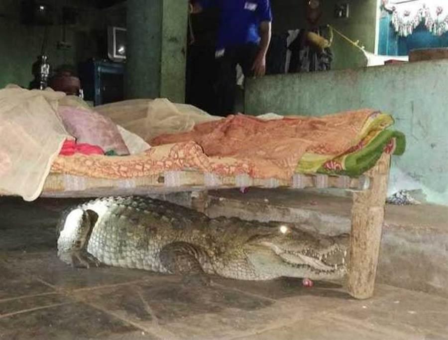 農夫半夜被狗吠聲吵醒 驚見巨鱷睡在床底下(圖翻攝自/推特)