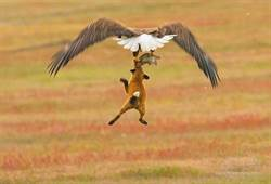誰會贏?白頭海鵰搶食狐狸 空中激戰8秒好驚險