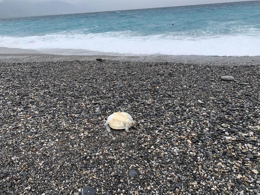 花蓮七星潭海岸今早發現死亡海龜,花蓮3月以來第二起。(許家寧翻攝)