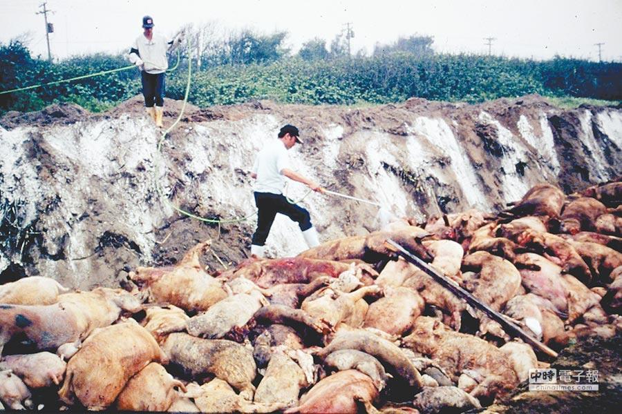 1997年台灣爆發口蹄疫疫情,死亡豬隻準備進行焚燒掩埋。(防檢局提供)