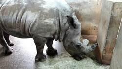 白犀牛搬到高雄壽山動物園!有機會和韓國瑜見面囉