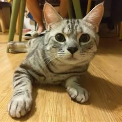 好動短毛貓「咪寶」超Q萌 最愛啃吸管