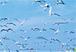 澎湖迎燕鷗 青螺溼地澎澎灘淨灘