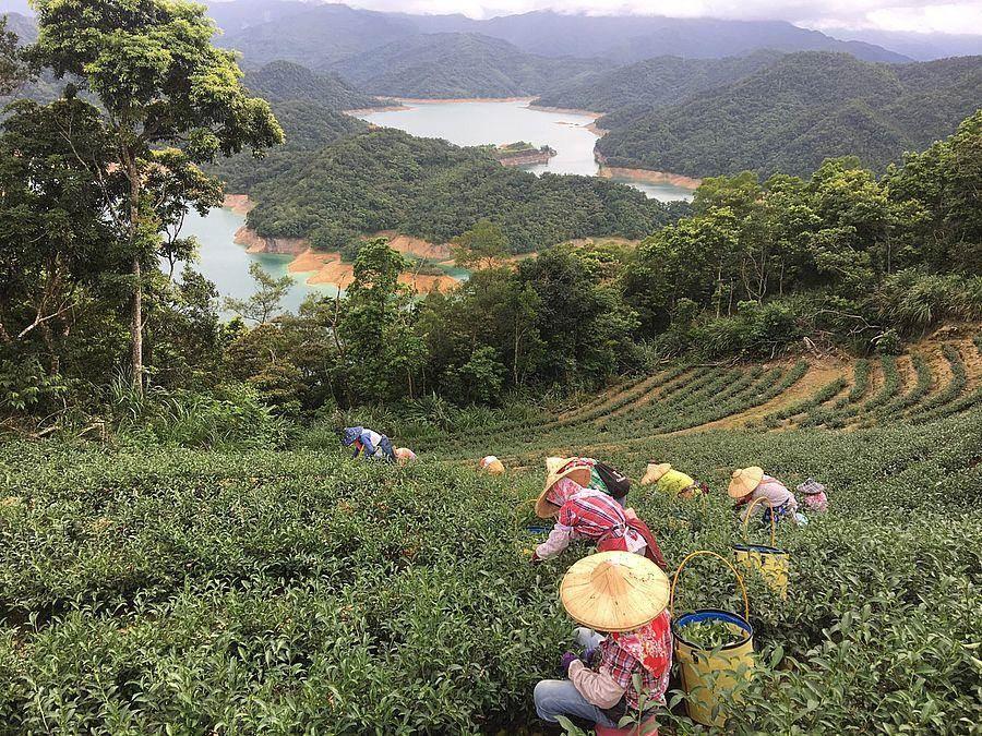 葉文鵬茶園俯瞰鱷魚島。(新北市農業局提供)