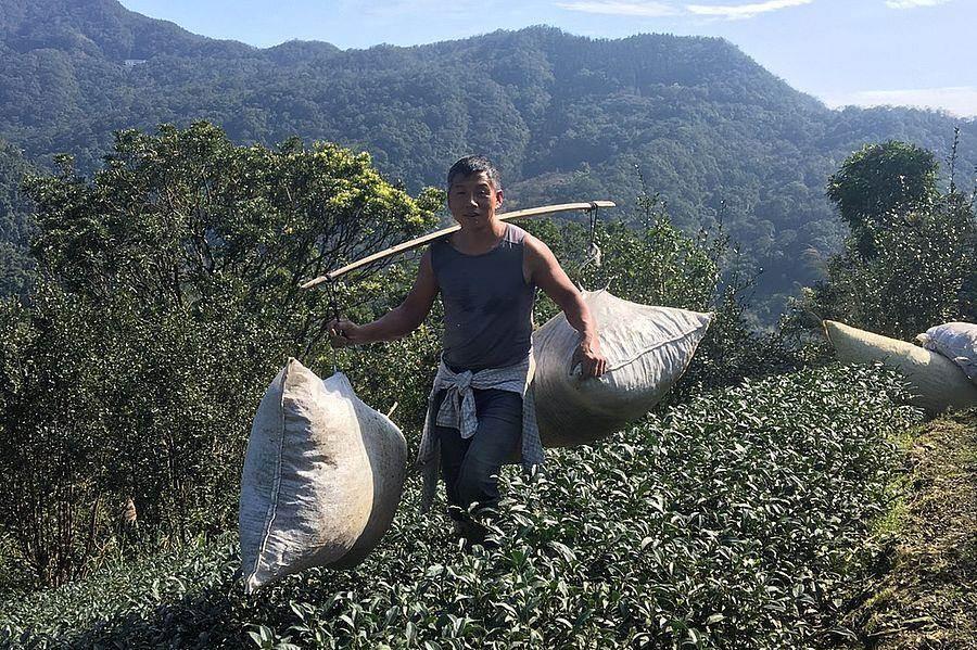 葉文鵬搬運茶菁的身影。(新北市農業局提供)