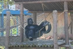 猩猩請假了?動物園派「工讀生」上陣 遊客超怒