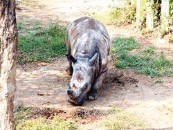 北市白犀牛搬高雄 保育園備妥「愛心便當」