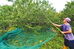梅產量剩3% 台東縣府爭取救助