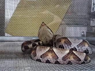 板橋市鬧區驚傳百步蛇傷人 男被咬傷