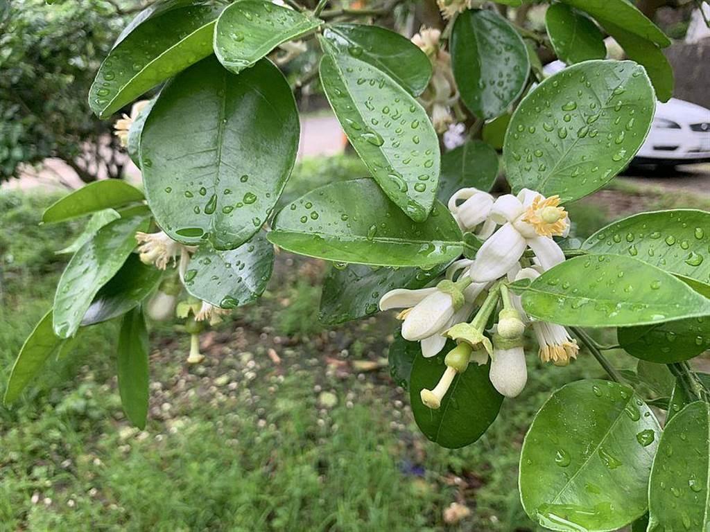 雨後柚花近照。(新北市農業局提供)