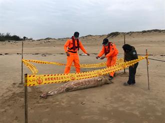 瀕絕鯨豚魂斷金門海域  採樣釐清死因