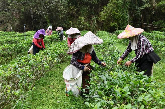 日月潭周邊山區茶菁已開始採摘,今年量少僅為往年3分之1左右。(沈揮勝攝)