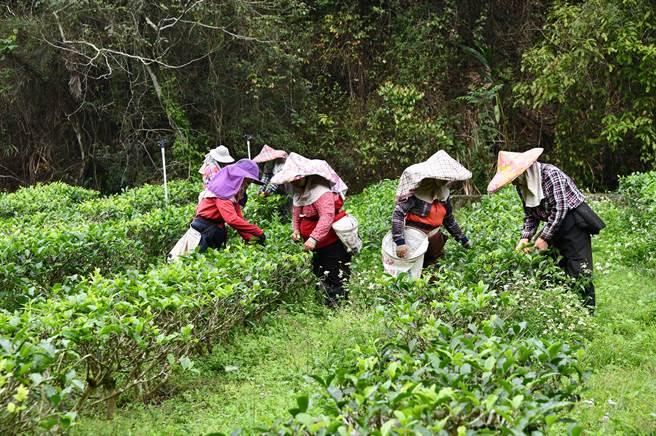 台茶18號的春芽帶有花香與蔗香,被稱為初蕊。(沈揮勝攝)