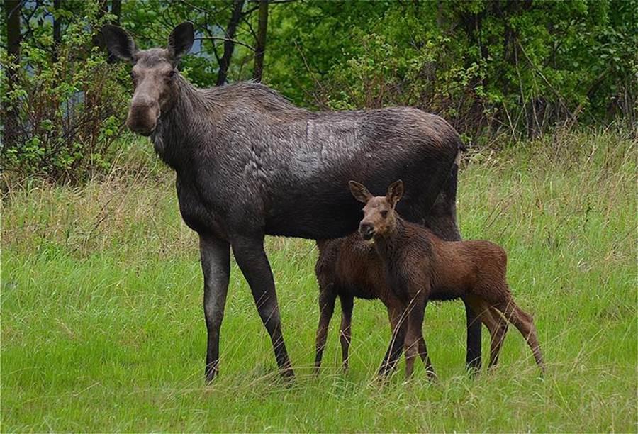 在北美公路旅遊中,隨時會與野生動物相見。圖:加航提供
