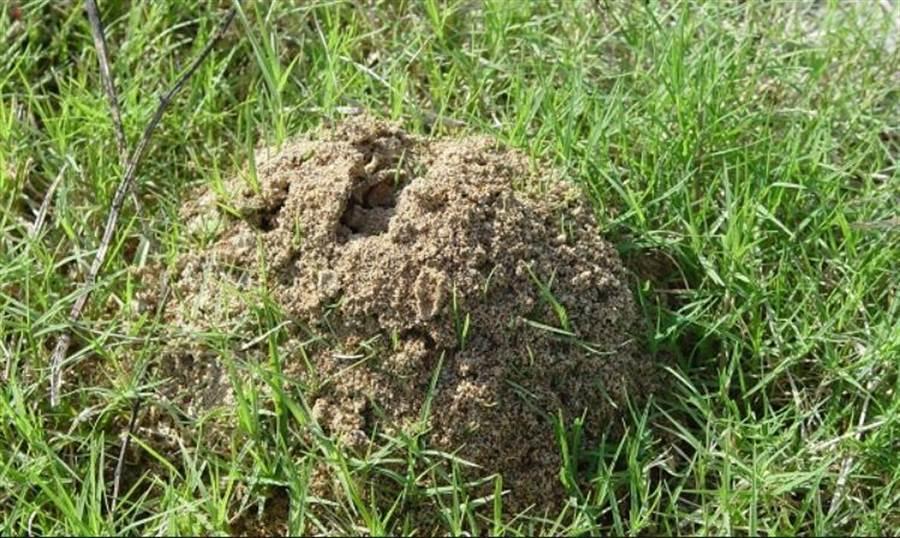 新北市議員張志豪邀集相關單位會勘紅火蟻疫情。(葉書宏翻攝)