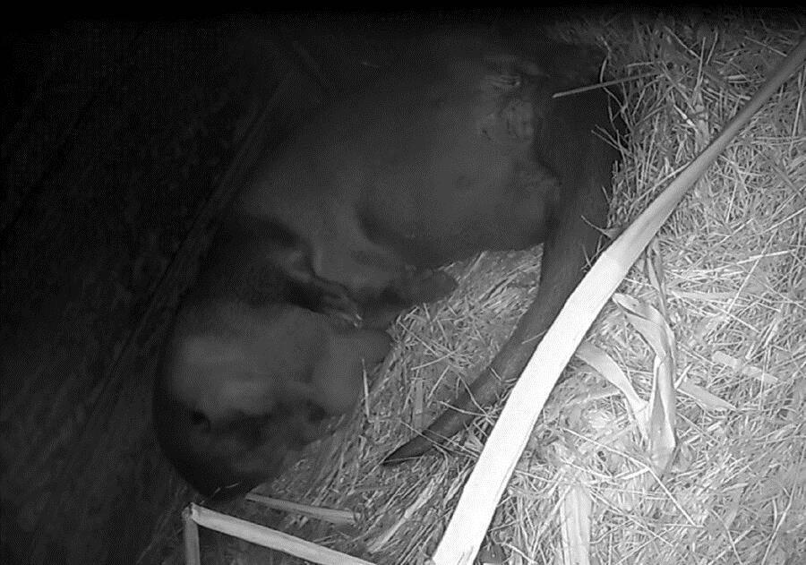 欧亚水獭「金莎」,于3月9日(六)晚间约5点左右,再度平安诞下1只小宝宝(监视器影像画面)。(台北市立动物园提供)