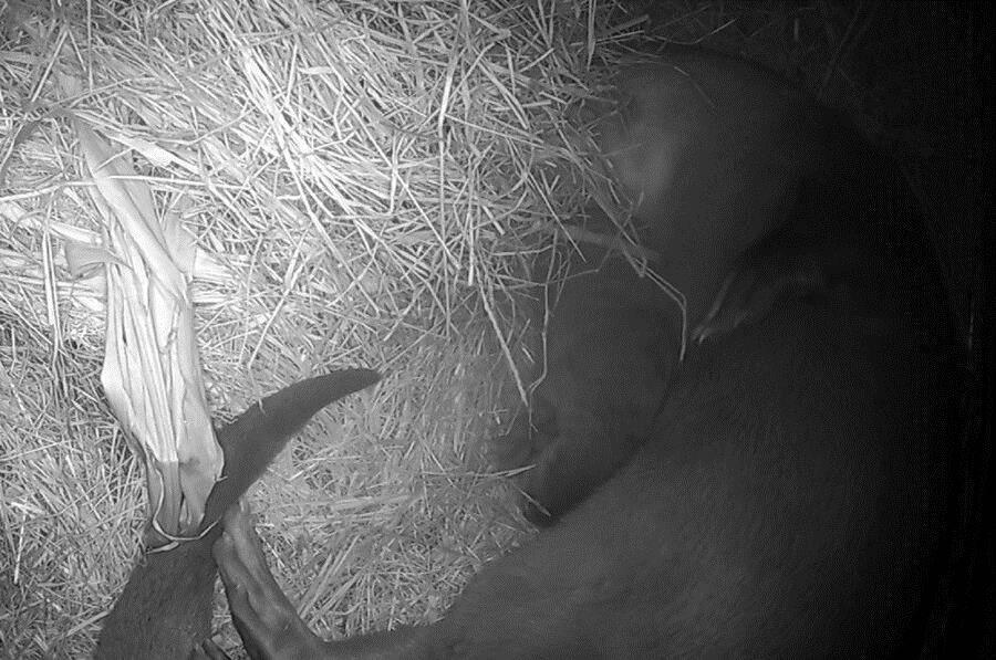 小宝宝和妈妈「金莎」窝在一起睡的香甜(监视器影像画面)。(台北市立动物园提供)
