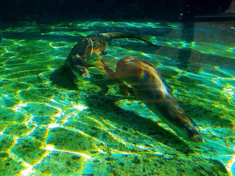 欧亚水獭是游泳高手。(台北市立动物园提供)