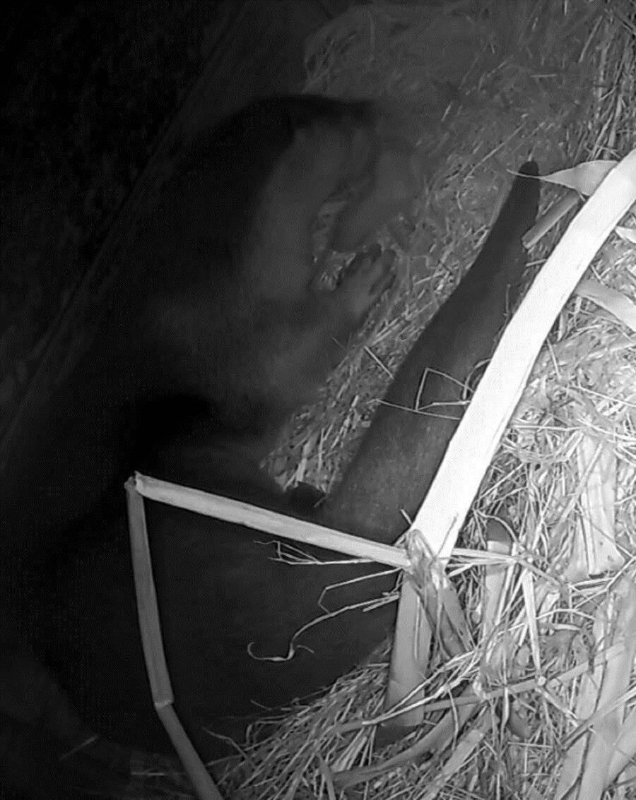 「金莎」为刚出生的小宝宝舔舐乾净身体(监视器影像画面)。(台北市立动物园提供)