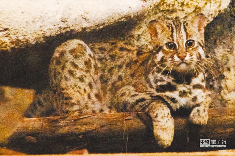 石虎。(台北市立動物園提供)