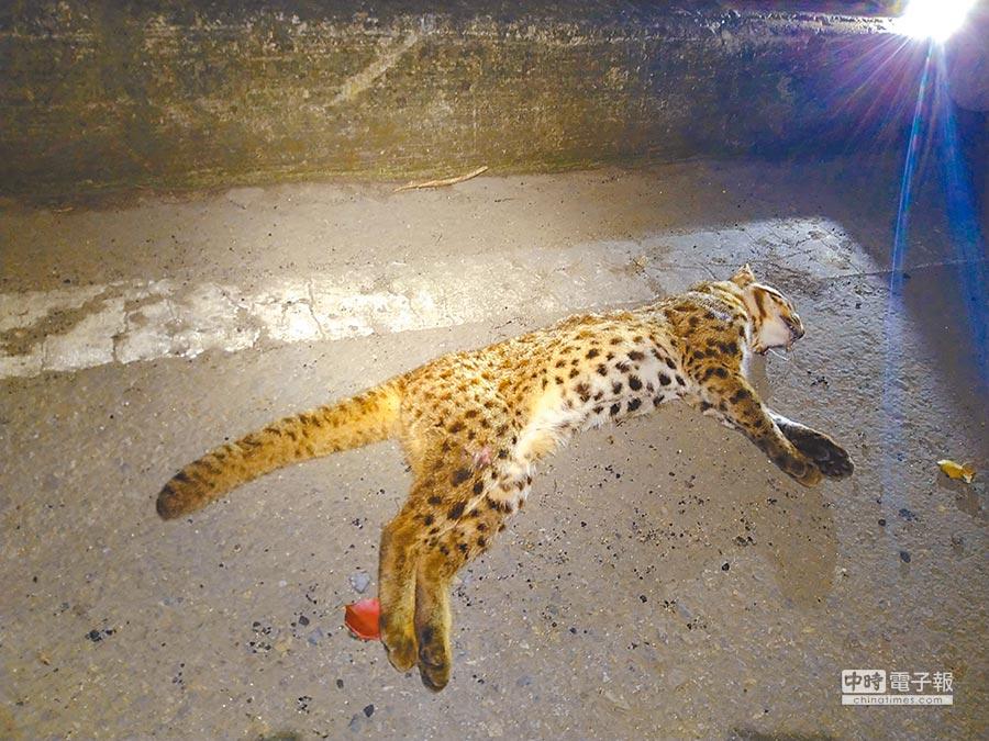 石虎瀕臨絕種,加上棲地逐漸都市化,據台灣動物路死觀察網統計,2011年至今全台已有67筆石虎路殺事件,苗栗高達46次。(巫靜婷翻攝)