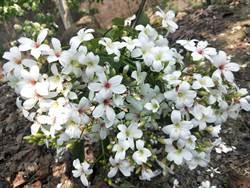 油桐花盛開 楠西梅嶺下4月雪
