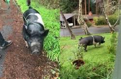 寵物豬走失好心急 竟慘被鄰居分屍