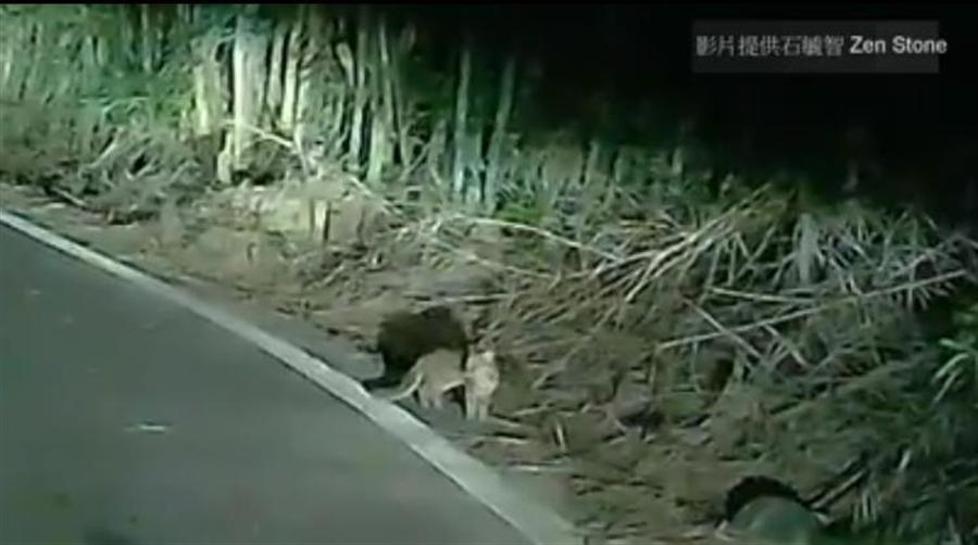 熱心民眾石毓智Zen Stone通報石虎保育協會理事長陳美汀並提供石虎過馬路的影片。(翻攝自貓徑地圖王小明)