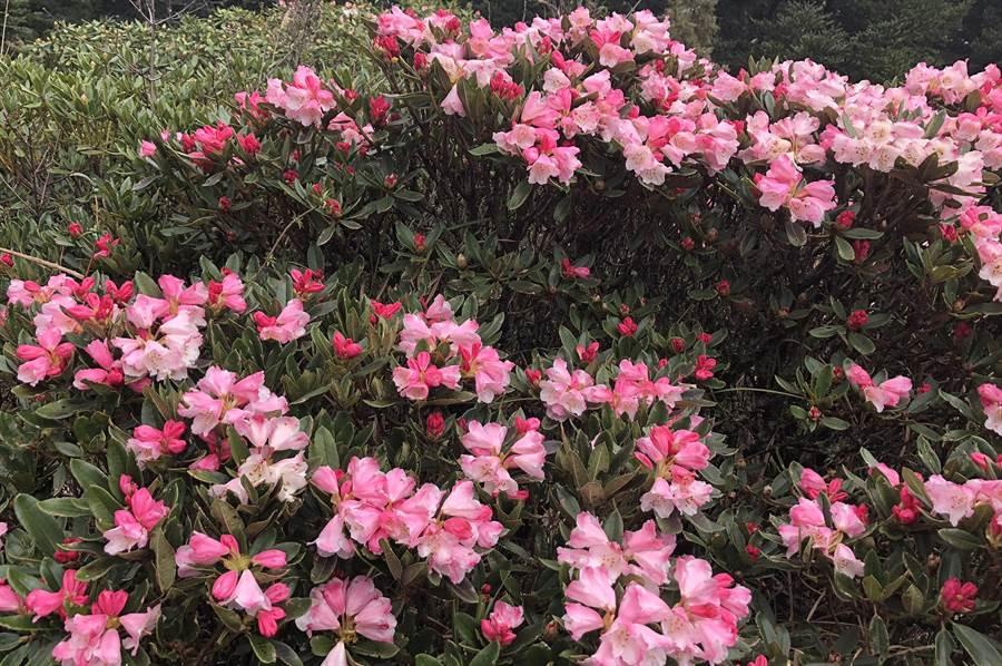 合歡山松雪樓附近之小奇萊步道,玉山杜鵑已綻放,目前花開4成,預期下個周休將璀璨美麗。(沈揮勝翻攝)