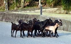 度假村羊群超好命 全山都是運動場