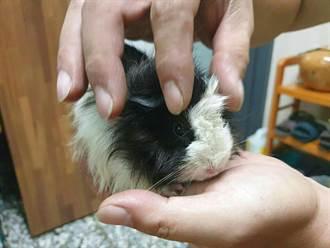 溪州幼兒園生命教育老師 逆毛天竺鼠「安安」