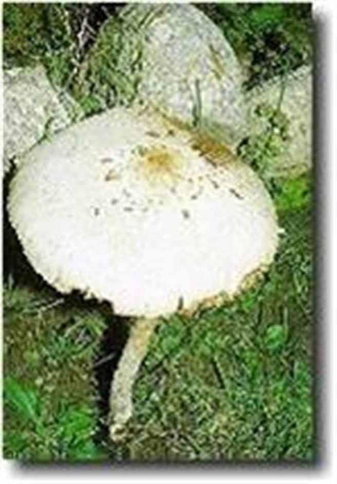 綠褶菇與白色雨傘菇相似,去年全台6人中毒。(食藥署提供)