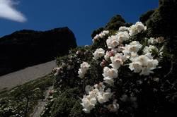 玉管處物候監測 塔塔加玉山杜鵑盛開