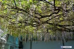 阿里山櫻花季尾聲 大島櫻、紫藤花接續盛開到月底