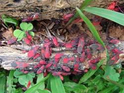 惊!红色虫虫入侵新北!发出臭味大量繁衍