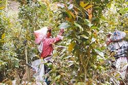 原生種垢果山茶採收製茶 全台獨一無二