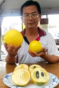 一顆2台斤黃金果亮相  民眾試吃稱讚連連