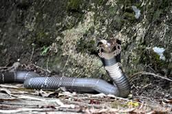 日月潭山區大尾眼鏡蛇現蹤 嚇壞民眾
