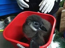 萌!黑腳企鵝寶寶頭好壯壯!保育員充當爸媽好稱職