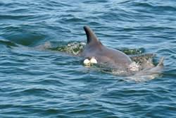 小海豚纏到捕蟹器亡 媽伴屍不肯走
