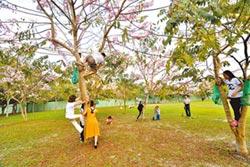 缺德!花旗木盛開 遊客竟爬樹