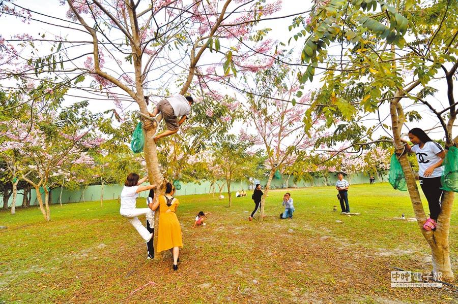 花旗木開花的季節,卻有遊客學猴子爬樹,脫序行徑令人傻眼。(莊哲權攝)
